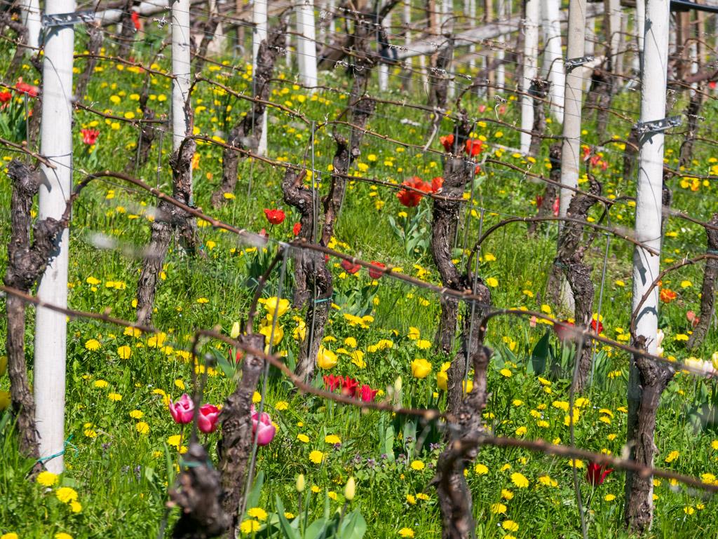 Tulpen in Weinberge