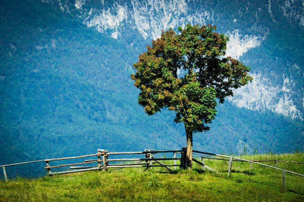 Baum aus Cisloner Alm