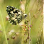 Schmetterling Weiße Baumnymphe