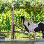 Pferd, Schecke