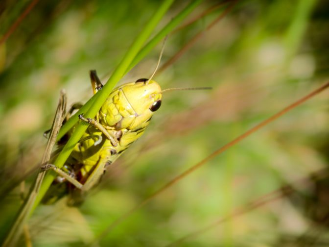 Neugierige Heuschrecke
