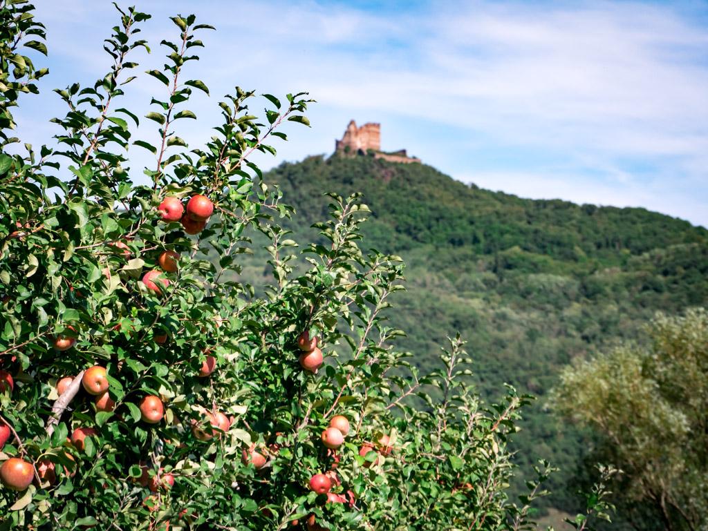 Apfelbäume untermalen die Leuchtenburg