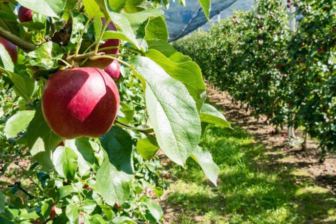 knackiger roter Südtirol Apfel