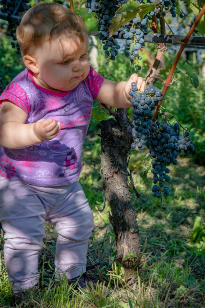 Anna beim Verkosten von Cabernet Sauvignon Trauben