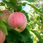 Fuji Apfel