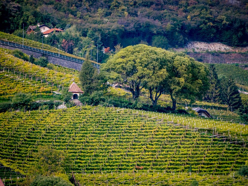 Zürgelbäume in Kurtatsch oberhalb des Weinlehrpfad