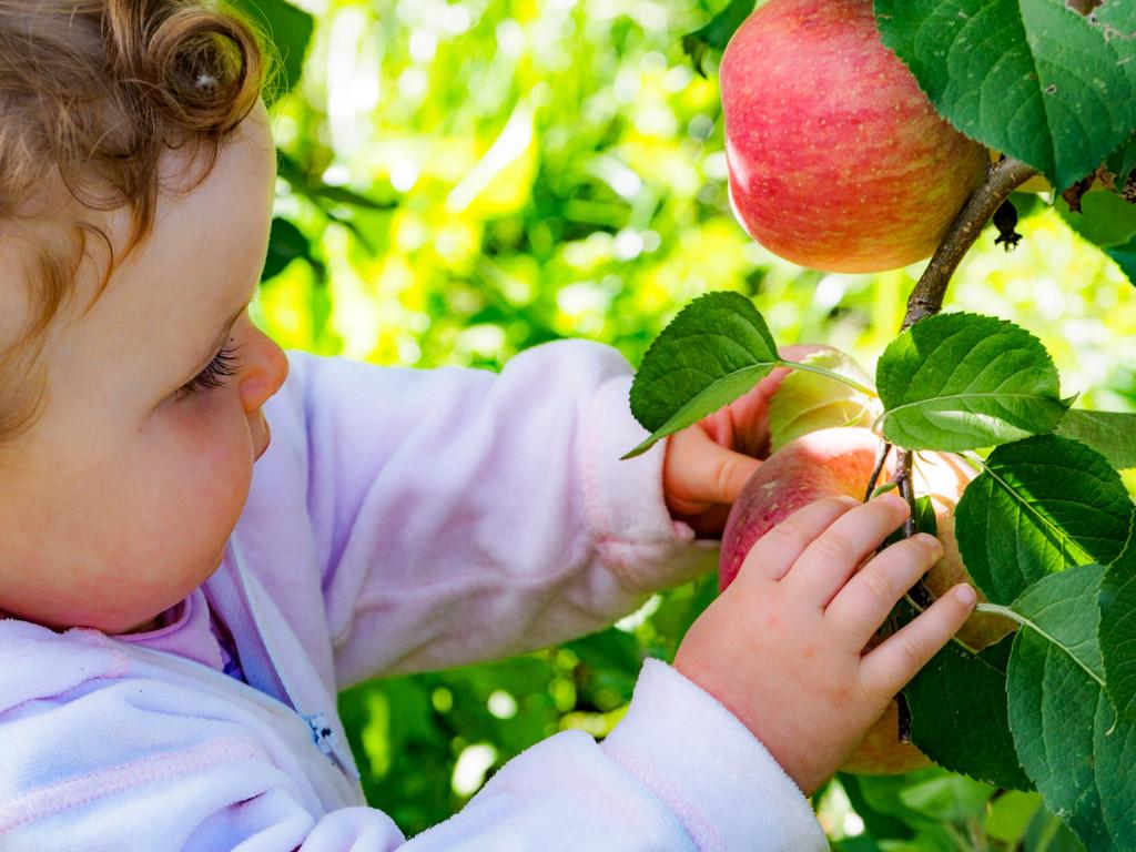 Anna beim Apfel pflücken