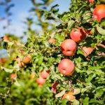 Fuji Äpfel