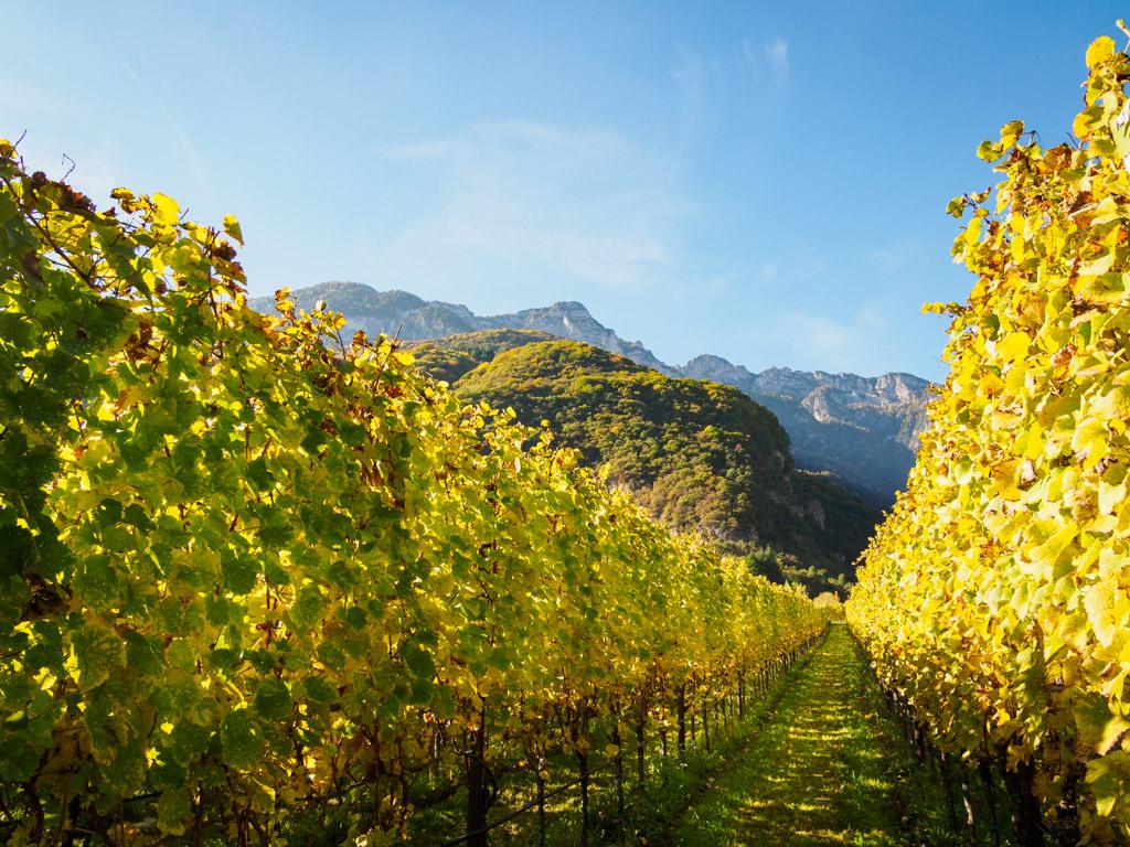 Herbstlicher Weinberg mit Schwarzem Kopf