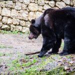 Braunbär Bruno in San Romedio
