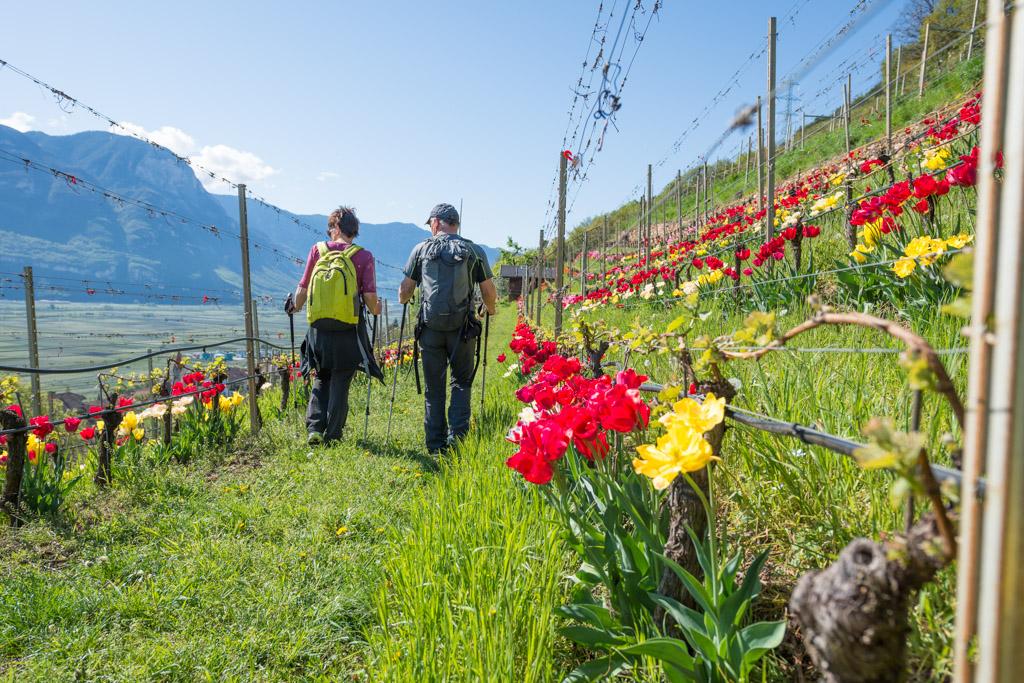 Spaziergänger im Tulpenweinberg