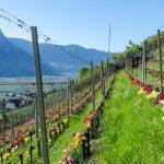 Tulpen im Weinberg