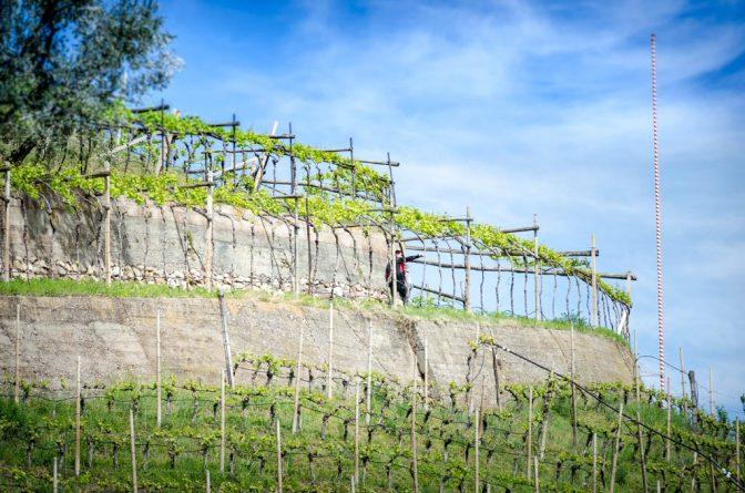 Weinberg neben dem Weingut Dominikus