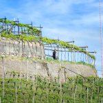 Weinberg am Weinwandertag Kaltern