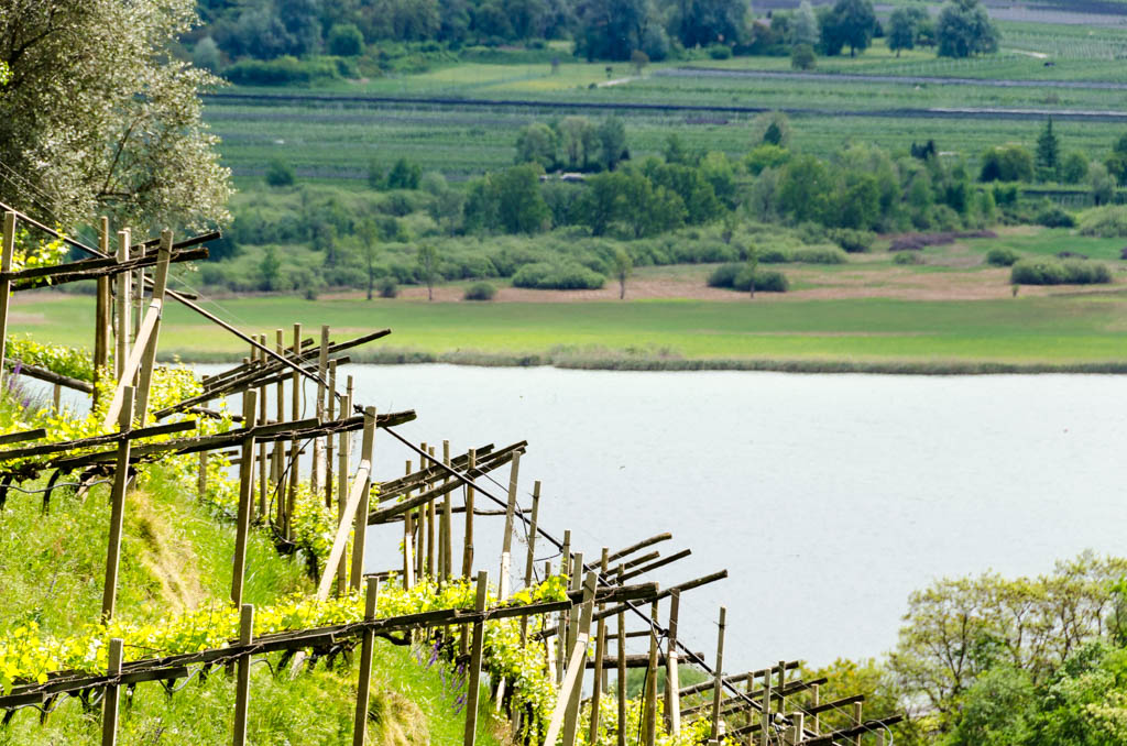 Weinberg mit Blick Kalterer See