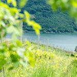 Weinberg mit Kalterer See