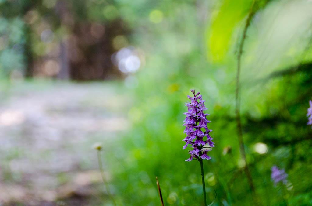 Knabenkraut, Orchidee