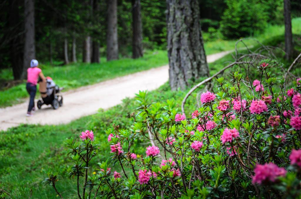 Wandern mit Kinderwagen, entlang von Alpenrosen