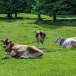 Anna und Kühe