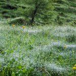Tautropfen auf Almwiese