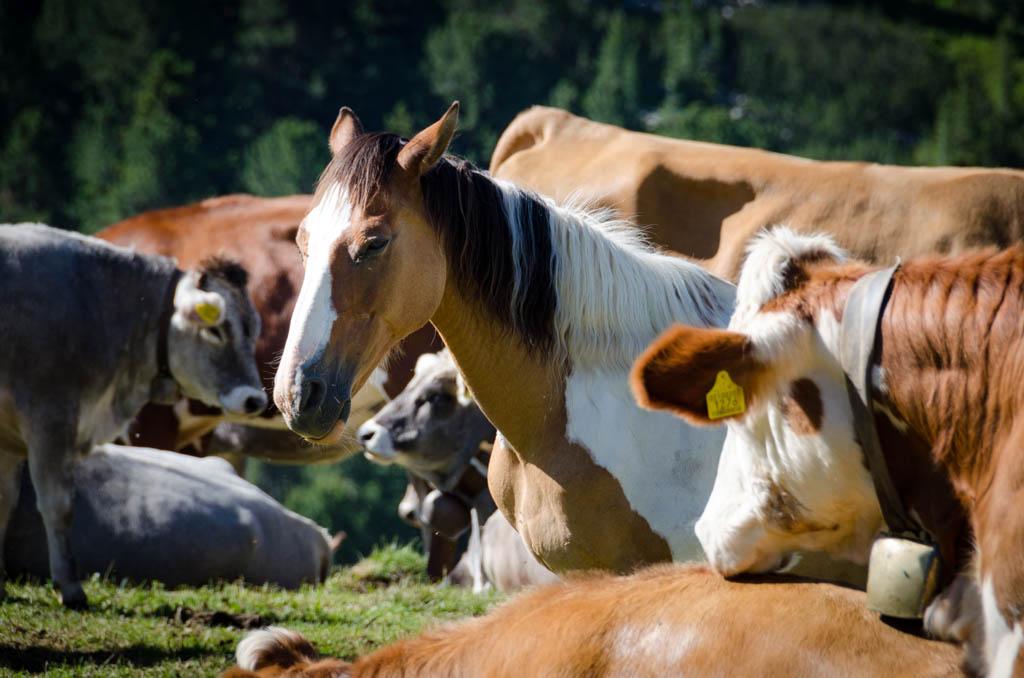 Pferd in Kuherde