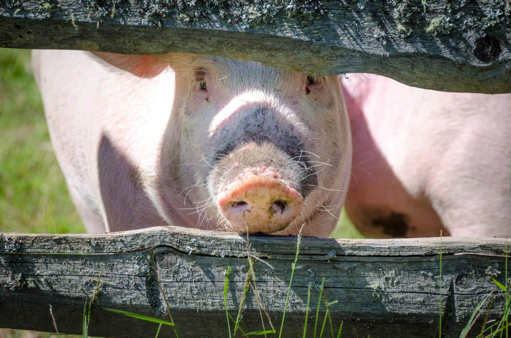 Die Schweine der Heinzen Alm