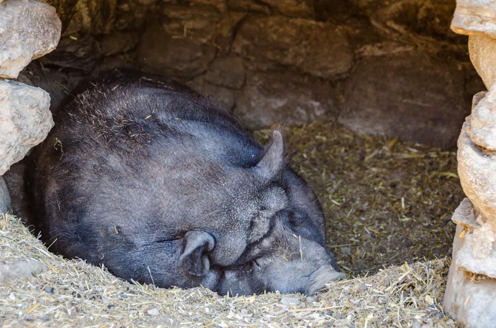 Hängebauchschwein Tierwelt Rainguthof