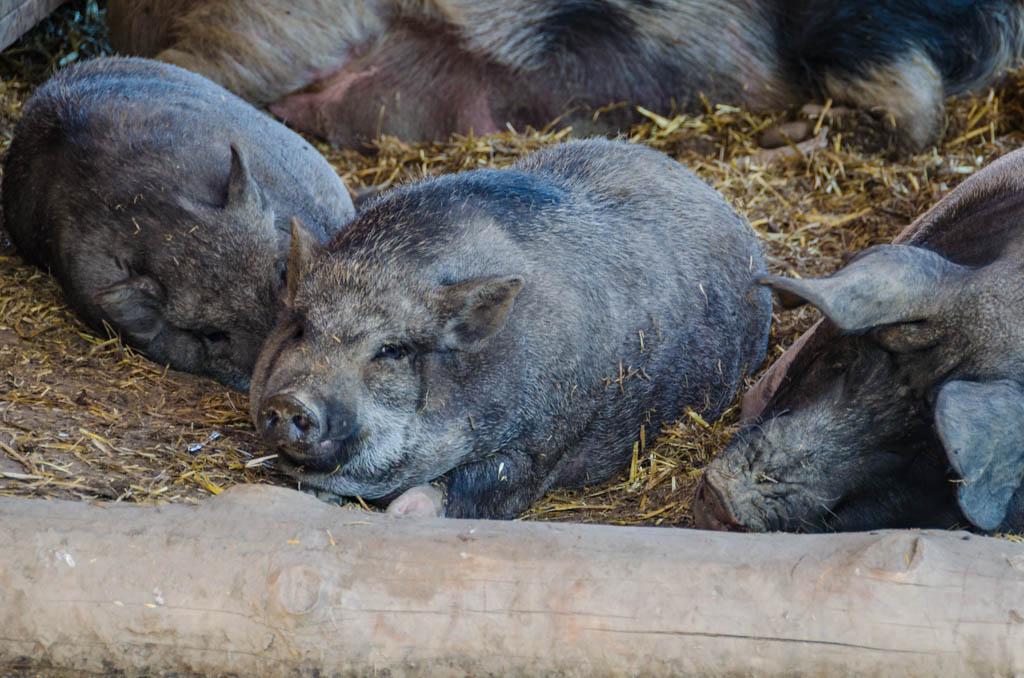 Schweine Tierwelt Rainguthof