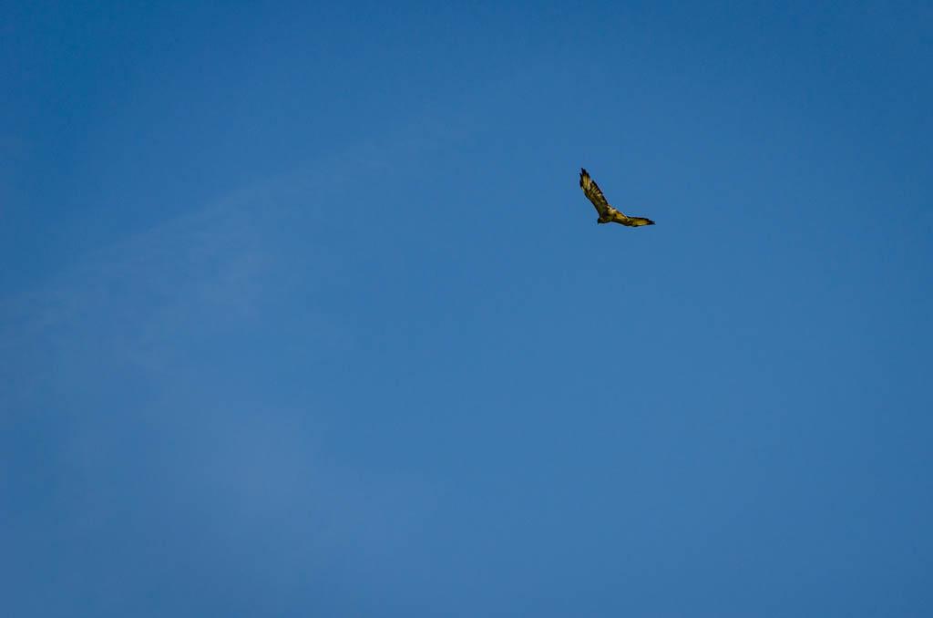 Graifvogel in der Luft