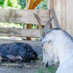 Ziege und Schwein Rainguthof