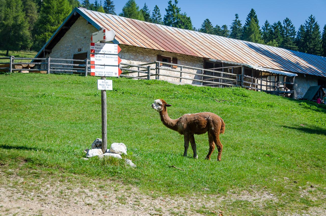 Alpaka auf der Alm Malga Kraun