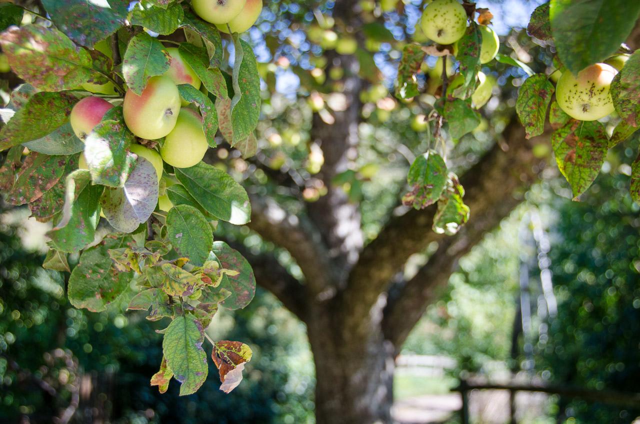 Apfelbaum Baum Kalterer Böhmer