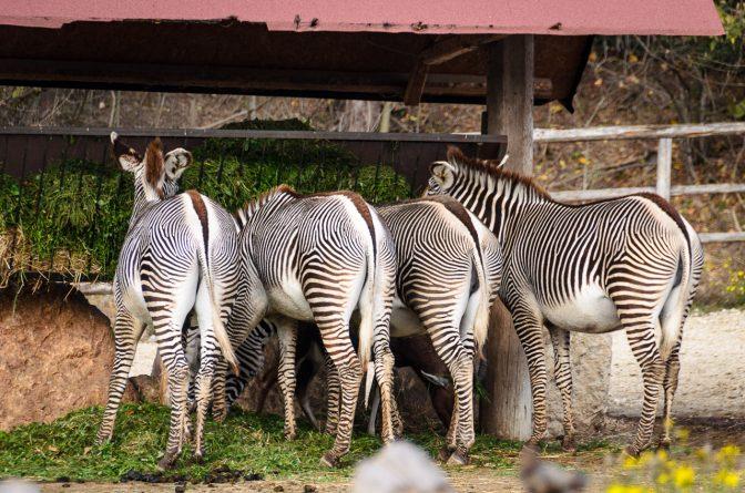 Zebras im Tiergarten Parco Natura Viva