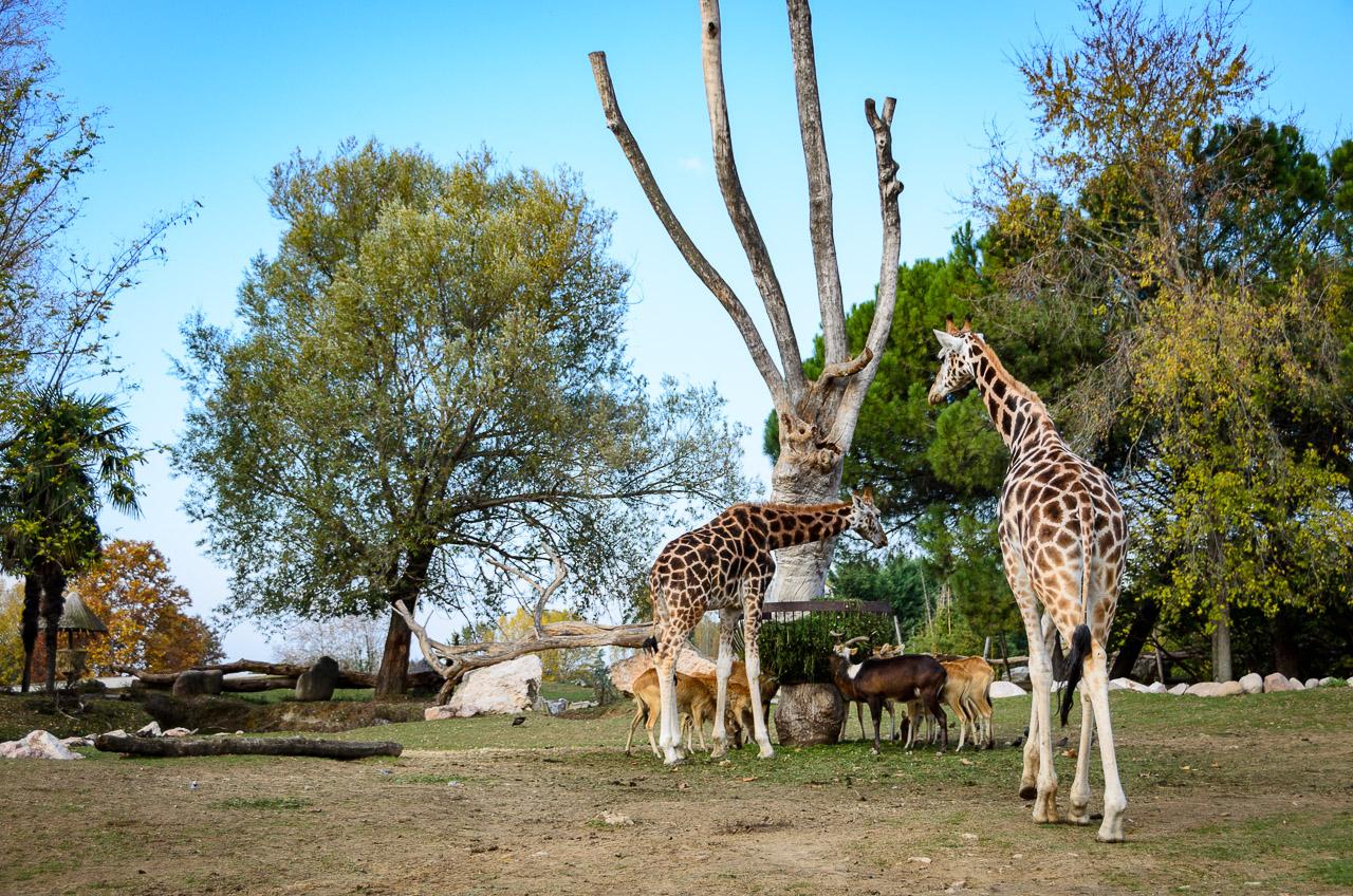 Giraffe im Tiergarten Parco Natura Viva