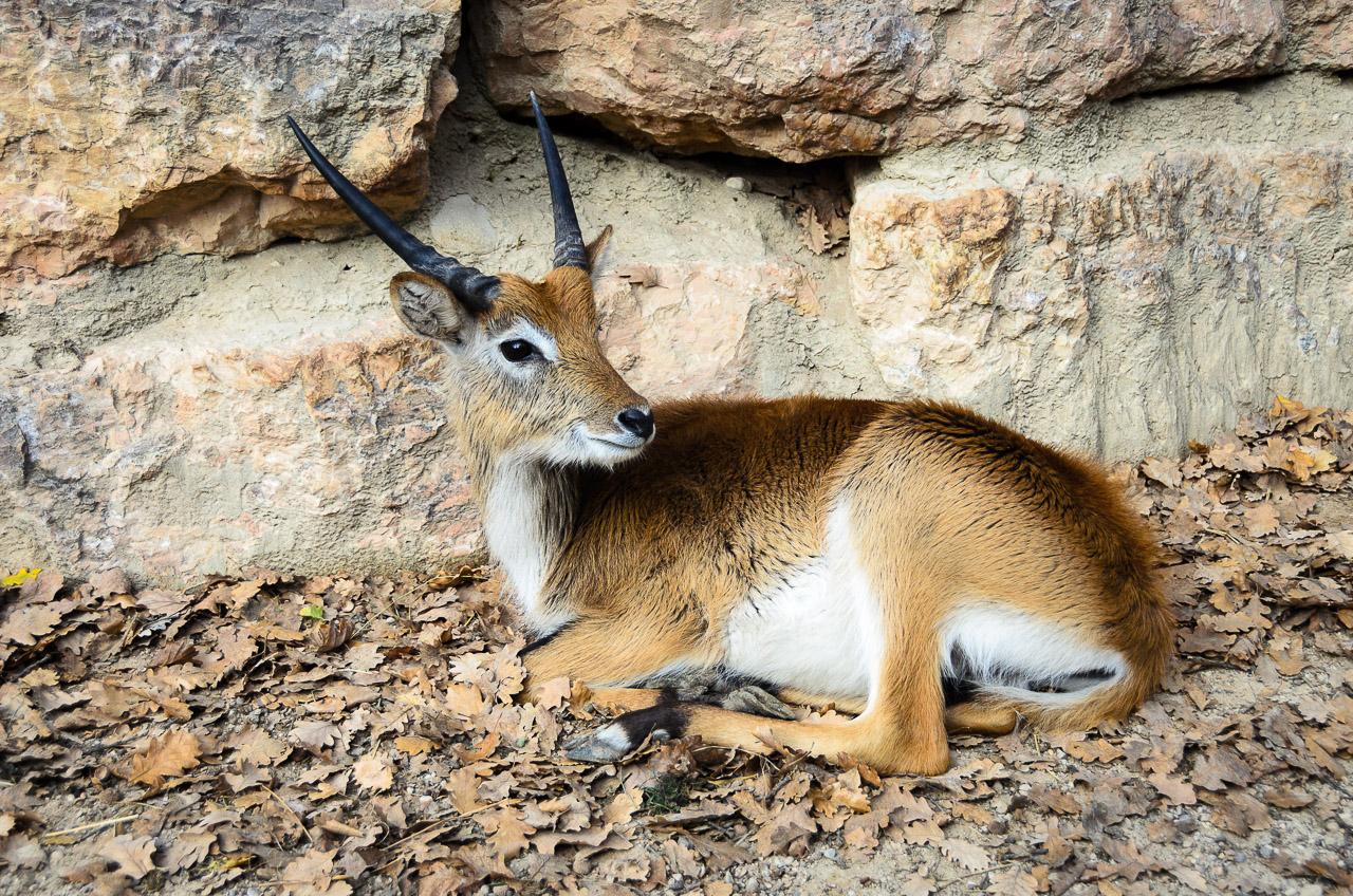 Antilopen im Tiergarten Parco Natura Viva