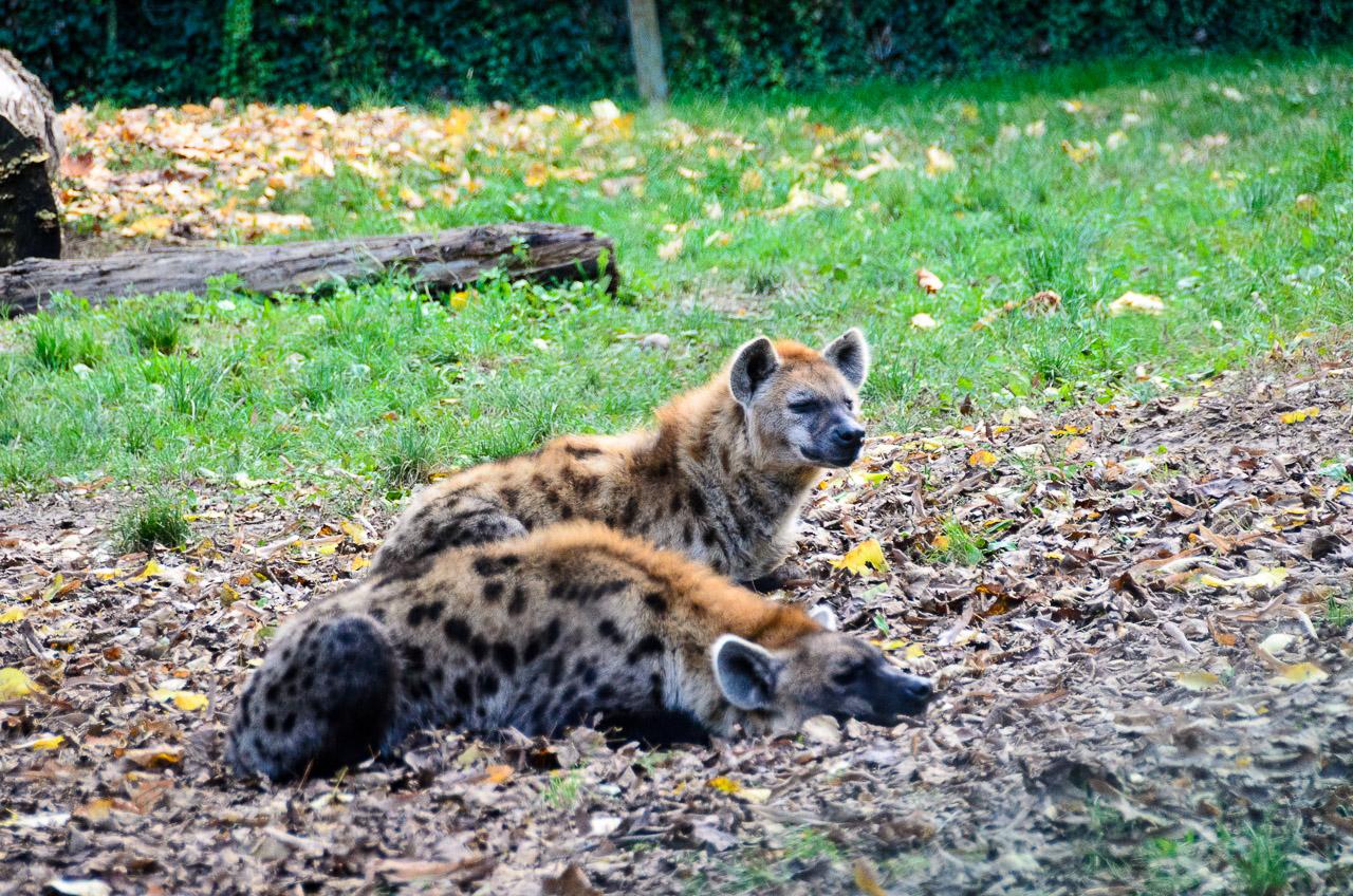 Hyänen im Tiergarten Parco Natura Viva
