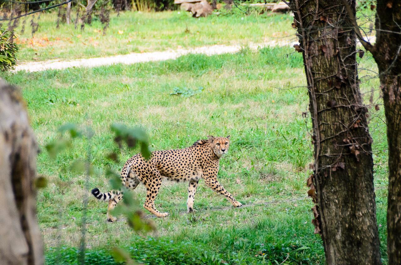 Gepard im Tiergarten Parco Natura Viva