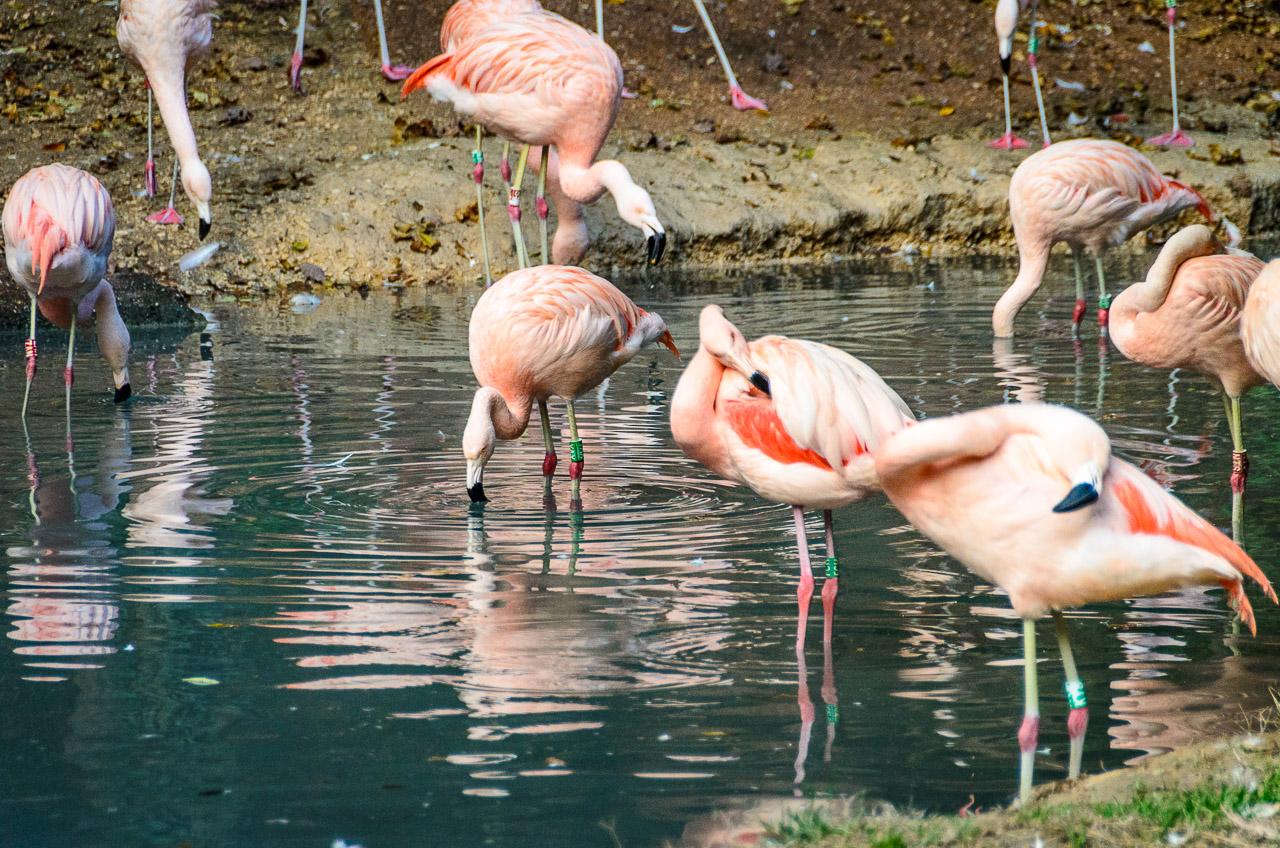 Flamingos im Tiergarten Parco Natura Viva