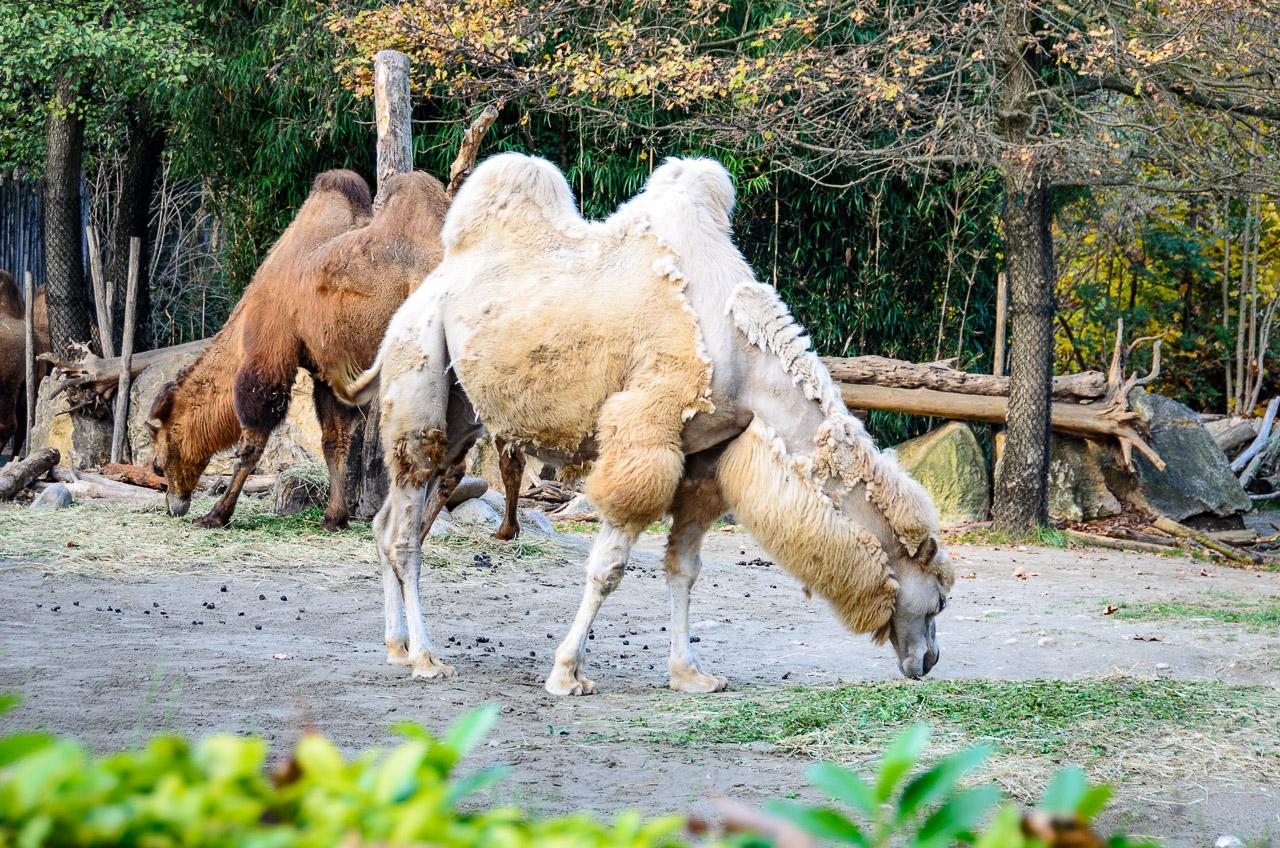 Kamele im Tiergarten Parco Natura Viva