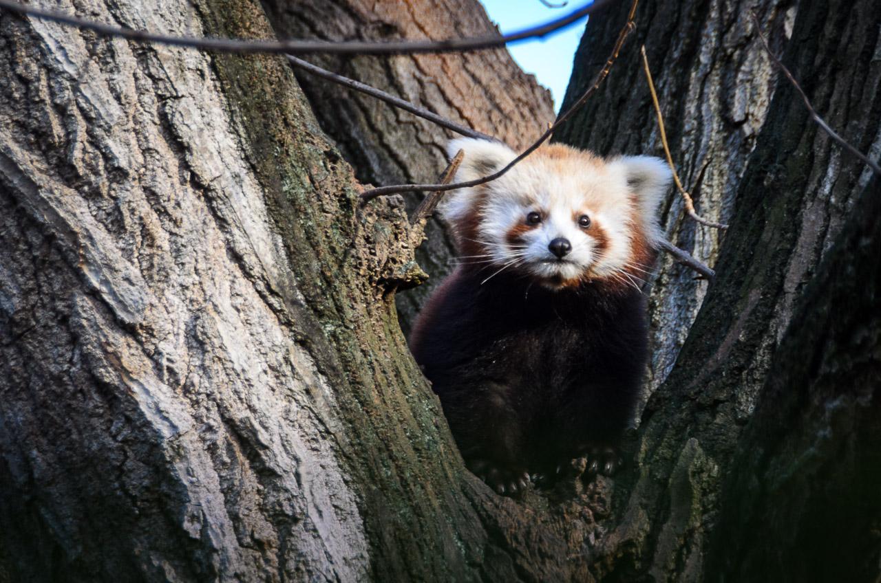 Roter Panda im Tiergarten Parco Natura Viva