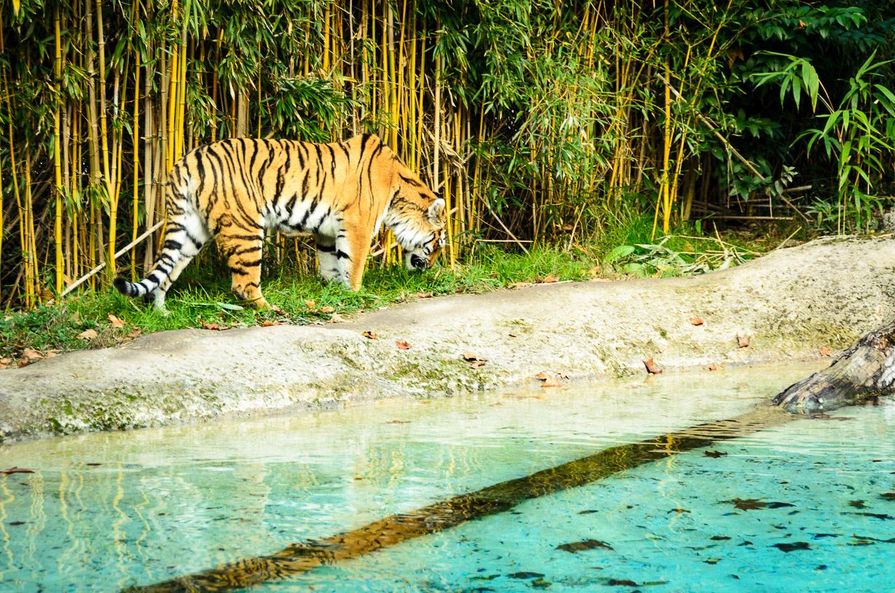 Tiger im Tiergarten Parco Natura Viva