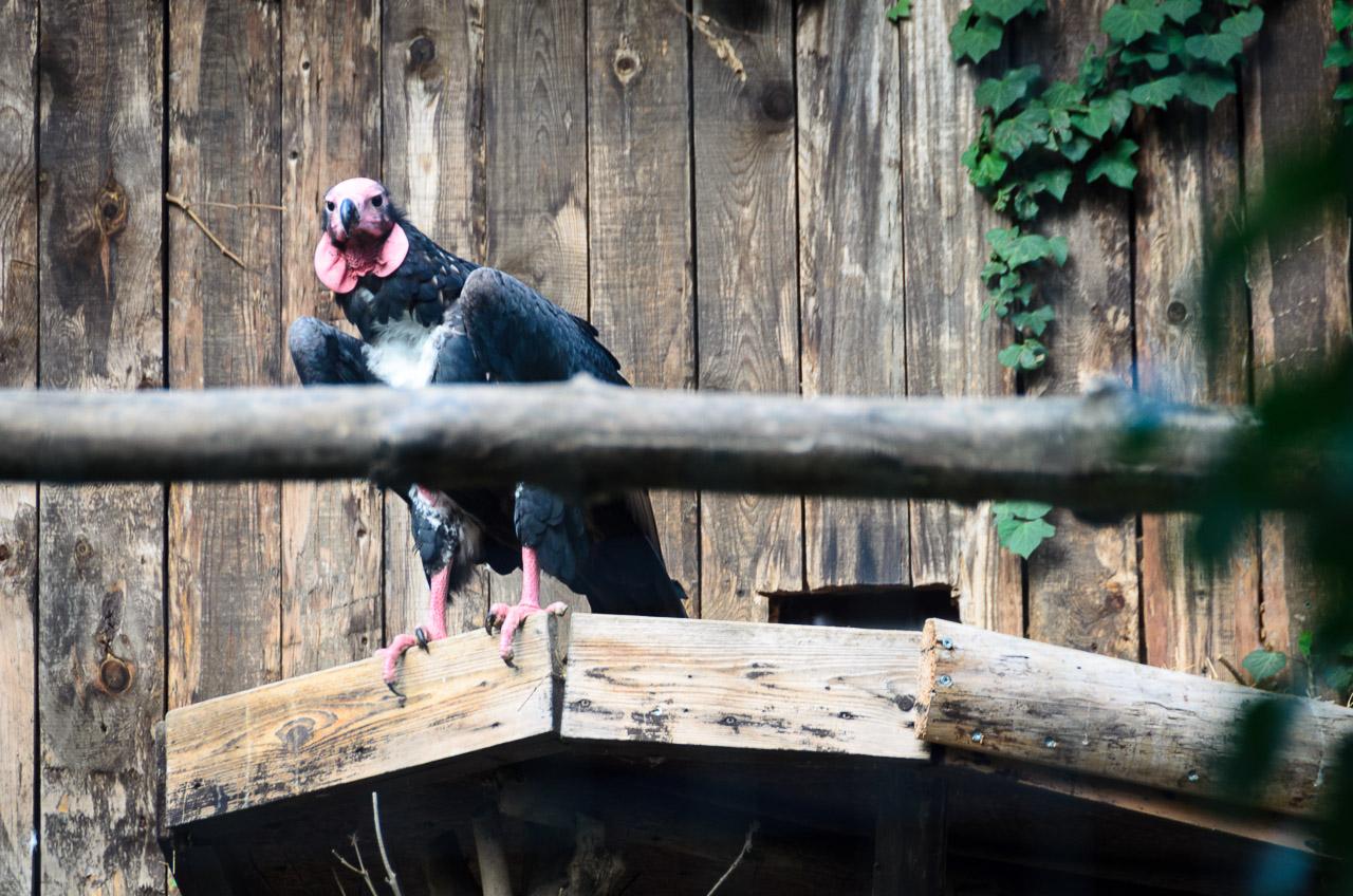 Geier im Tiergarten Parco Natura Viva
