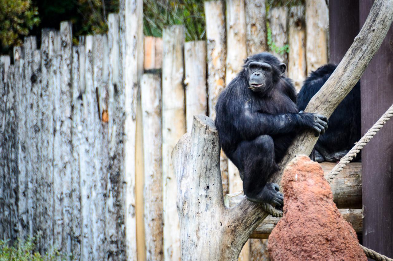 Schimpanse im Tiergarten Parco Natura Viva