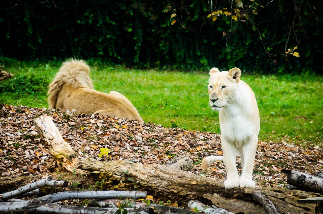 Löwen im Tiergarten Parco Natura Viva