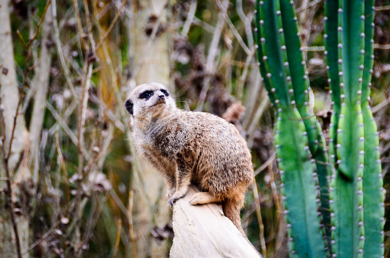 Erdmännchen im Tiergarten Parco Natura Viva
