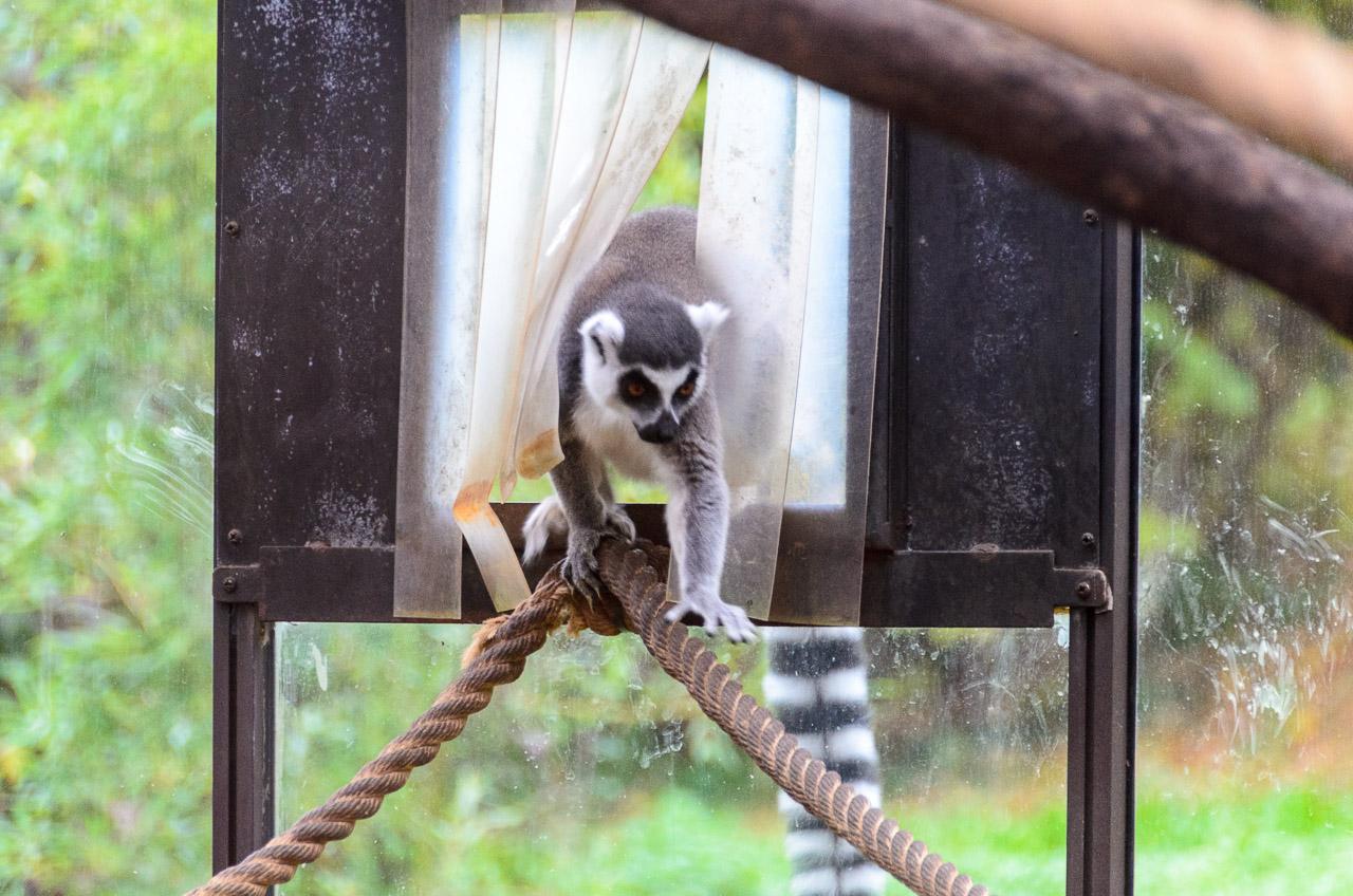 Lemuren im Tiergarten Parco Natura Viva