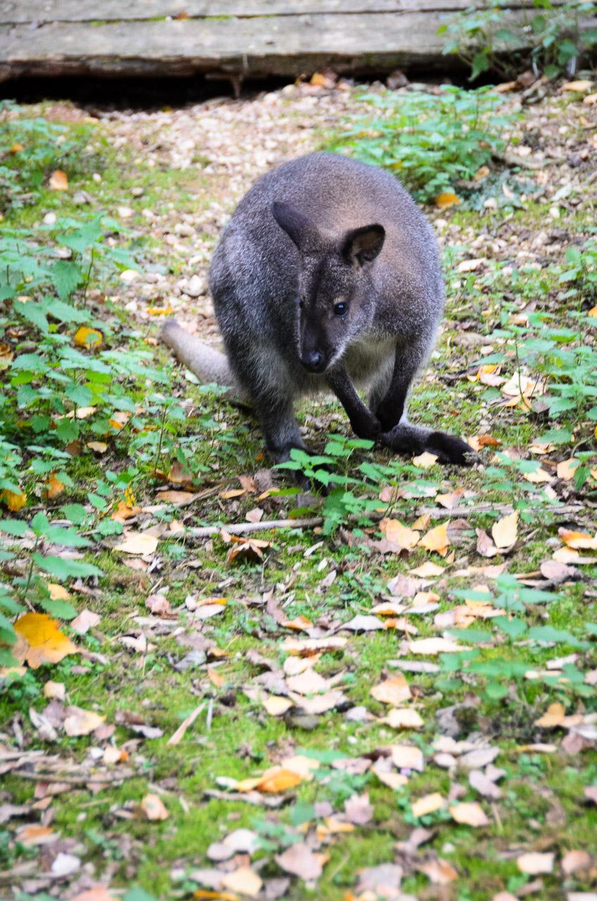 Känguru im Tiergarten Parco Natura Viva