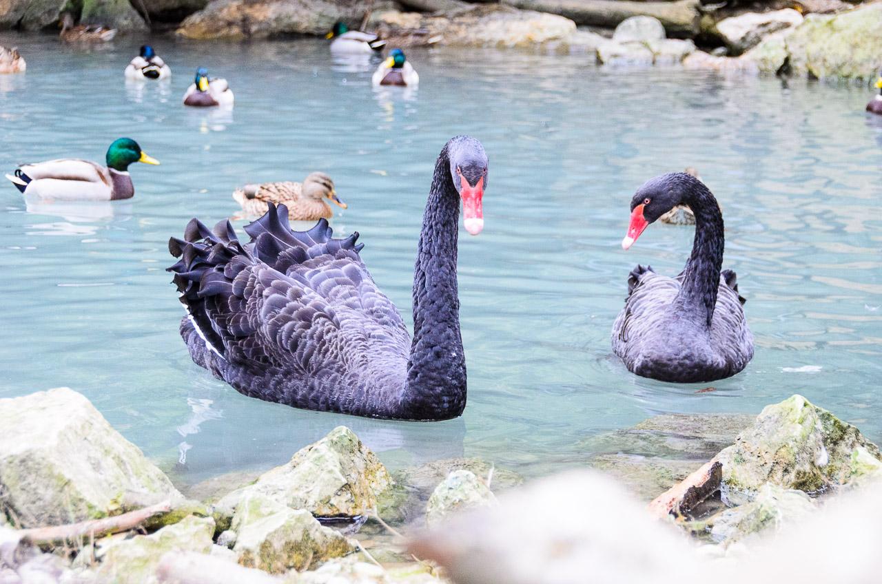 Schwarze Schwäne im Tiergarten Parco Natura Viva