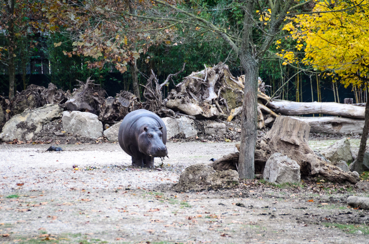 Nilpferd im Tiergarten Parco Natura Viva