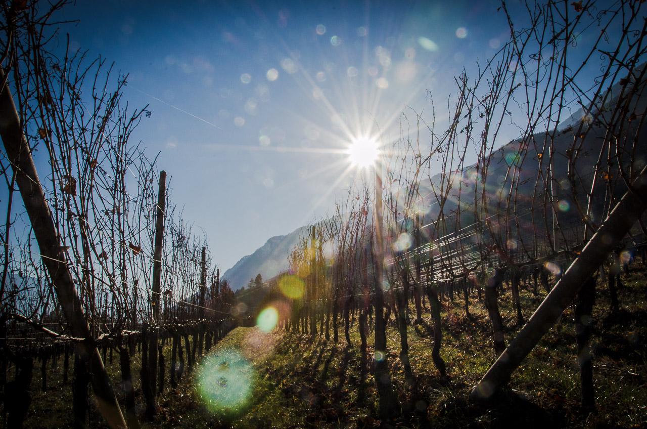 Sonne im Weinberg